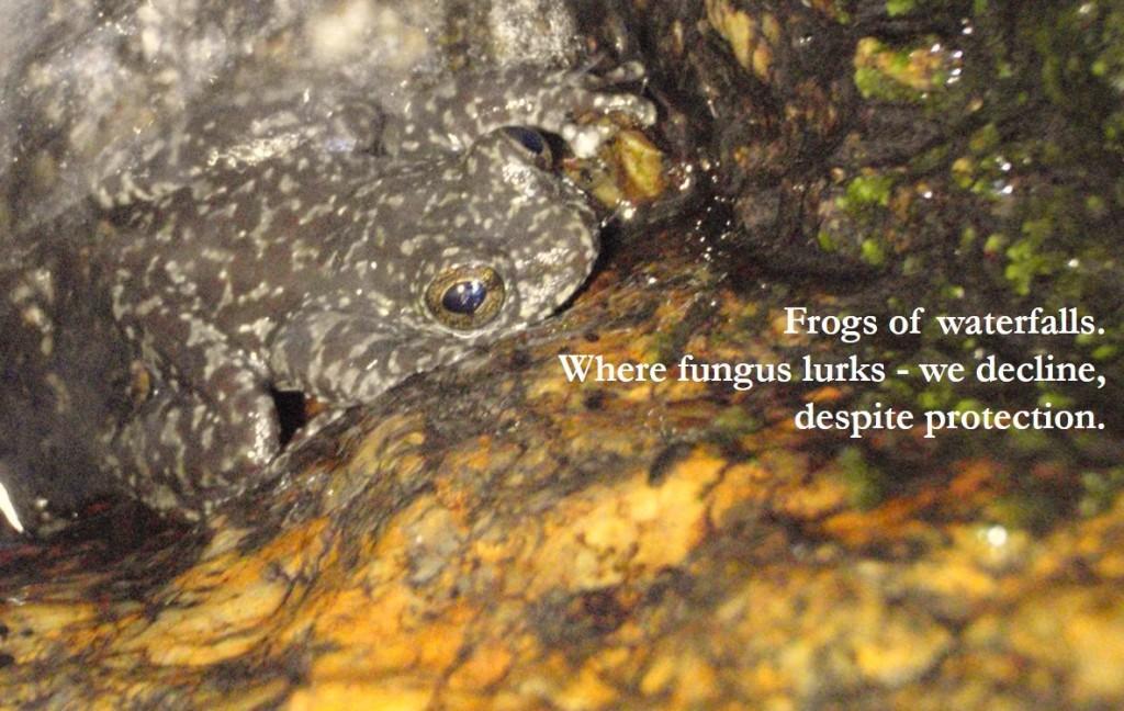waterfallfrog